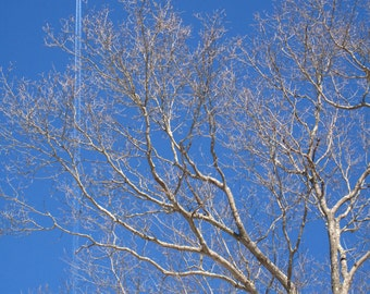 """Tree bones and airplane contrail, 5""""x7"""" blank photo greeting card"""