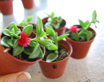 Baby Sun Rose 'Red Apple'  - Aptenia Ice Plant - Rare Hybrid - Trailing Succulent Ground Cover