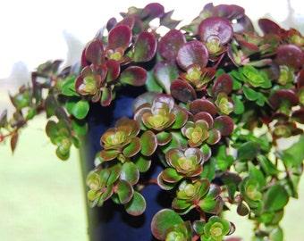 Coral Reef Chinese Stone Crop - Flowering Fairy Garden Miniature Plant  - Sedum Tectractinum - Drought Tolerant