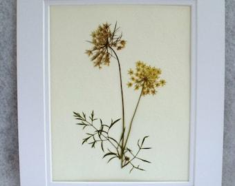 Real Pressed Queen Anne's Lace Flower Botanical Herbarium Specimen Art 11 x 14 Matted