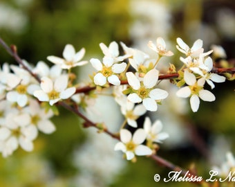 White Blossoms Fine Art Print
