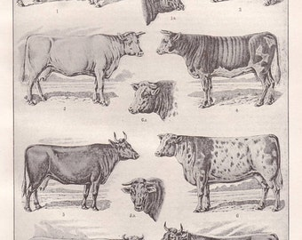 Cows original 1922 natural history print - Cattle, bovines, farm animals - 93 years old German antique book page illustration (A363)