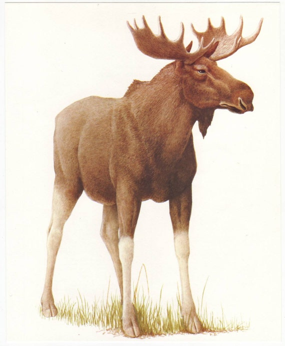 Moose original 1965 zoology print - Natural history, vintage ephemera, deer, elk - 50 years old book plate illustration (A286)