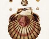 Instant  Download Scallop Shells You Print Digital Image 300 dpi