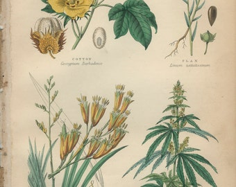 Cotton, Hemp, New Zealand Flax, Plants Clothing Cordage, Reproduction Antique Botanical Engraving 18, Kitchen Print Decor, Country Cottage