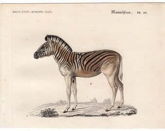c. 1861 ZEBRA ANTIQUE ENGRAVING - original antique print - African safari animal - hippotigris antiquorum - African wild horse