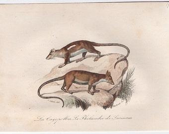 1860 opossum print original antique hand colored animal engraving - buffon cuvier natural history