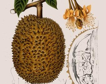 antique french botanical print durian tropical fruit illustration DIGITAL DOWNLOAD