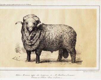 1864 Antique SHEEP print. merino sheep, fine lithograph