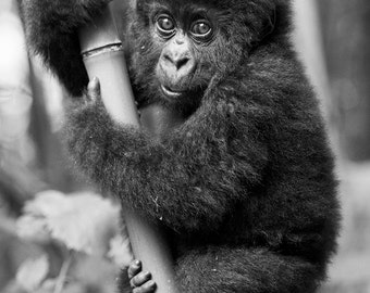 CUTE BABY GORILLA Photo, Black & White Print - Baby Animal Photograph, African Wildlife Photography, Safari Nursery Art, Jungle, Baby Monkey