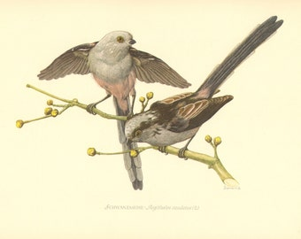 1953 Long-tailed Tit or Long-tailed Bushtit - Aegithalos caudatus Vintage Offset Lithograph
