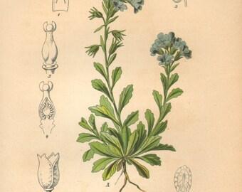 1884 Fairy Foxglove, Starflower, Alpine Balsam or Liver Balsam, Erinus alpinus Antique Lithograph