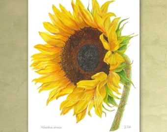 Sunflower Botanical Print Helianthus annuus Yellow Flower Art Illustration by Janet Zeh Original Art
