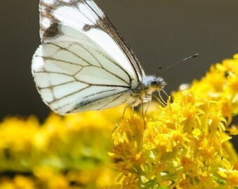 Butterfly Gifts, fine art photography, white butterfly photo, yellow flowers, rustic home decor, nature photography, fine art print