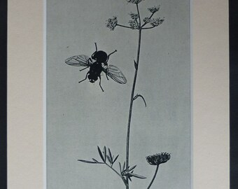 Vintage 1940s Print of a John Curtis Illustration of a Blue Bottle Fly Vintage entomology print of an 18th century engraving - Insect Decor