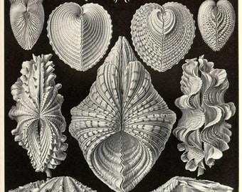 Shell print poster. Nautical illustration. Sea shell print. Sea shell poster. Vintage poster. Sea snail shell, freshwater snail shell.