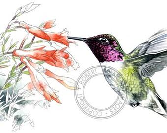 Anna's Hummingbird watercolour - bird wildlife art - nature print of original artwork
