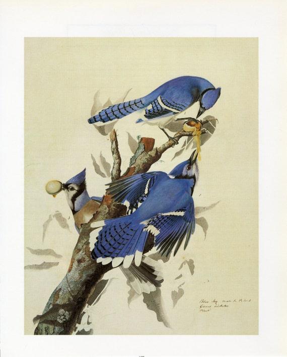 Vintage Audubon Bird Print Blue Jay C 1960 Vintage Decor