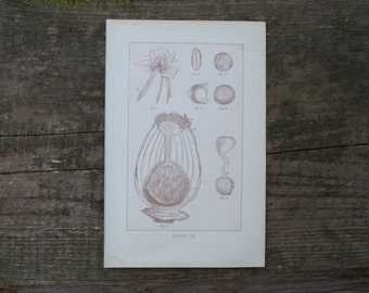 1893 - Reproduction in Plants - Antique Anatomical Print