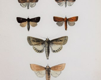 Antique Moth Print by Rev. F. O. Morris -  Wainscot  Moths
