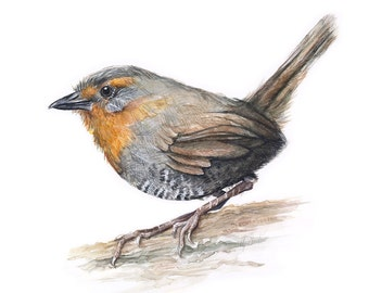 Bird Illustration Watercolor Painting Bird Watercolor, Chucao Tapaculo, Art Print, Forest Bird, Animal Illustration, Giclee