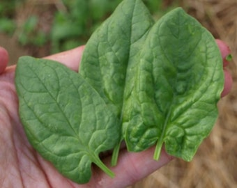 Monstrueux de Viroflay- Heirloom Spinach Seeds- 200+
