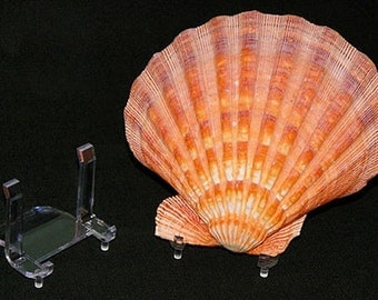 Seashell Clear Lucite Easel  Display Stand ~ Securely Holds Shell in a Natural Position. ~