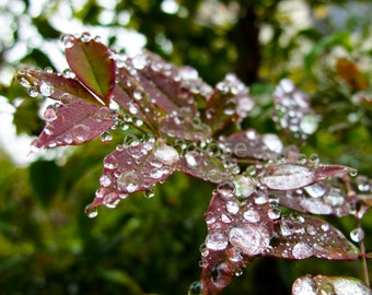 Rain Drops on Red and Green Leaves Photograph, Print