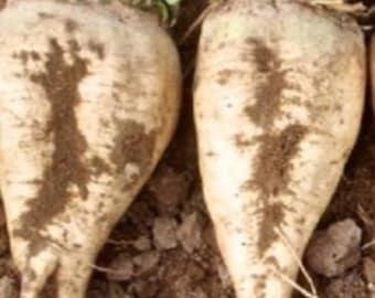 250 Sugar Beet Seeds