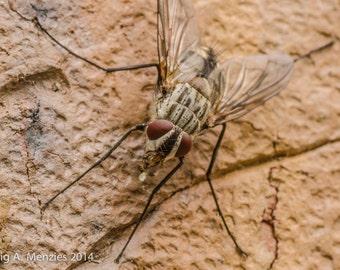 Flesh Fly on Brick Wall - 1