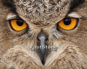 great horned Owl, photo, picture, glossy, birds, US, nature, animals, print, signed, owls, bird, photography