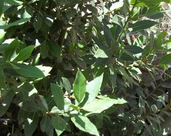 Sweet Bay Leaves - FRESH Green Organic Laurel 50  soups seasoning stews