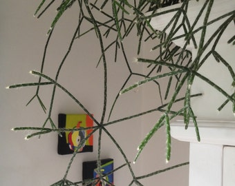 Rhipsalis pilocarpa - 1 cutting - 10 cm