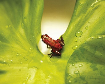 Red poison dart frog photographed in Costa Rica