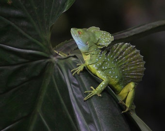 Baselisk lizard photographed in Costa Rica