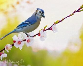 Bird Art Print, Blue Jay Bird Perched in Tree, Blue and White Bird, Cherry Blossoms, Blue Jay Closeup, Bird Wall Art, Fine Art Photography