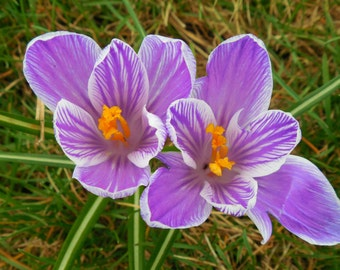 SPRING CROCUSES--Macro Photography, Nature Photography, Purple Crocuses, Purple Flowers, Picture of Crocuses, Spring Flowers, Crocuses
