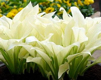 hosta White Feather ~ brilliant white leaves in Spring