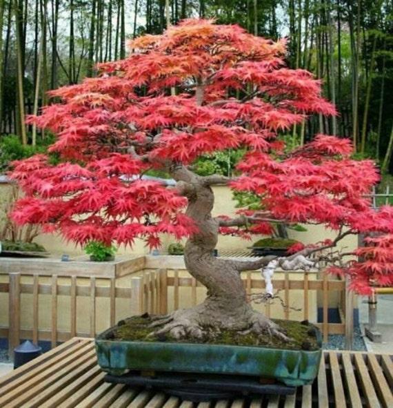 Heirloom 10 seeds red maple scarlet maple acer by dagangseeds - Arce rubrum bonsai ...