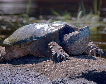 Adirondack Wildlife Print, Snapping Turtle Print, Giant Turtle Photo, Adirondack Fine Art, Wildlife Photography, Nature Photography