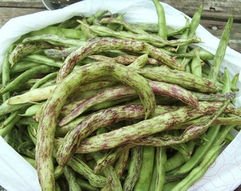 Rattlesnake Beans Heirloom Vegetable Seeds, Naturally Grown in the Pacific NW