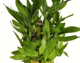 "3 Tier 4"" 6"" 8"" Top Quality Lucky Bamboo For Feng Shui (Total About 38 Stalks)  (FREE SHIPPING)"
