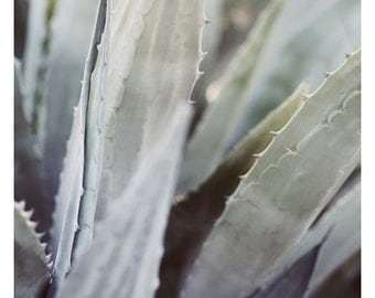 Nature Photograph - Succulent Photograph - Flower Photograph - Winter Agave 2 - Fine Art Photograph - Alicia Bock - Green - Floral Art