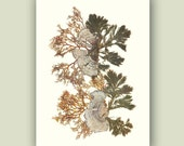 Pressed seaweed, Seaweed art,  collage seaweed pressing, Victorian Botanicals, decorative arts, nautical decor, beach cottage 5X7