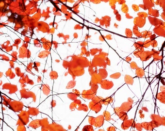 Autumn Trees Nature Photograph Fine Art Nature Photography Orange Leaves Fall Autumn Wall Art, Red Orange, Orange, White