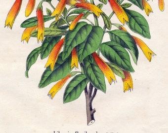 1863 Vintage Botanical Print of Libonia Floribunda - Spring Flowers - Handcolored - German