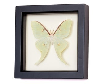 Real Luna Moth Insect Taxidermy