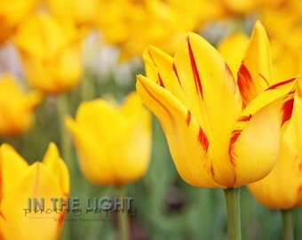 Yellow and Red Tulips - Fine Art Photography