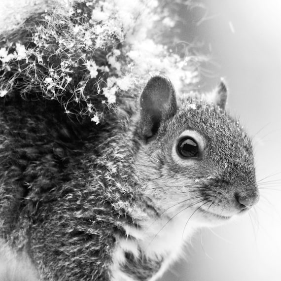 Still I Love Snow - Squirrel in snow First snow natural beauty snowing again squirrel wall decor home decor gift black and white photography