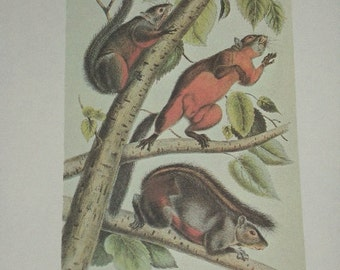 Vintage Audobon Animal Print-2 Sided Book Plate-Mammal-1975 Print-Red Bellied Squirrel/Red-Tailed Squirrel